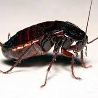 Traitement anti cafards blattes rabat for Anti cafard maison